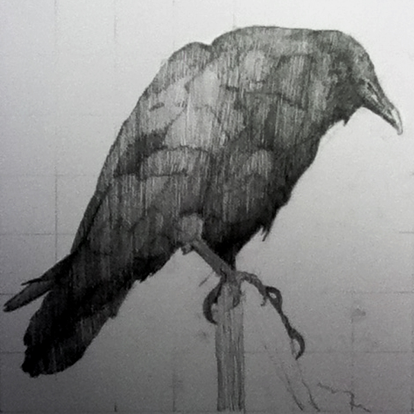 Perch, graphite, 14 x 15 inches, Work in progress